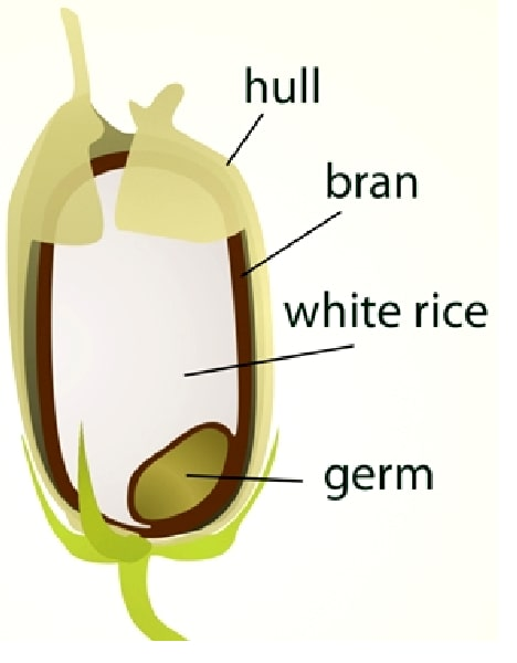 rice-anatomy-min
