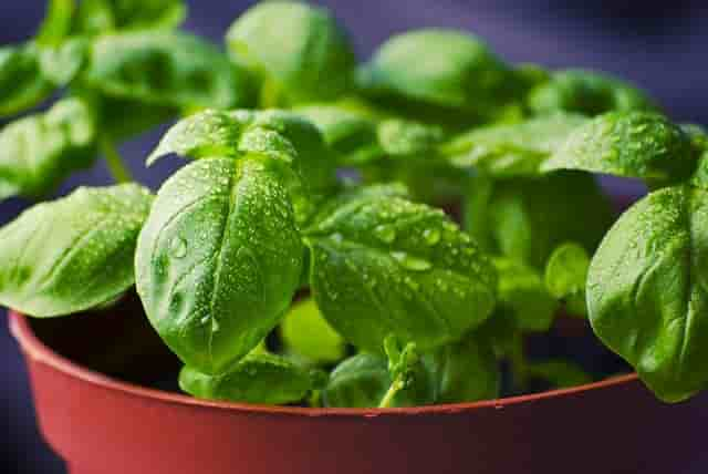 italian basil benefits